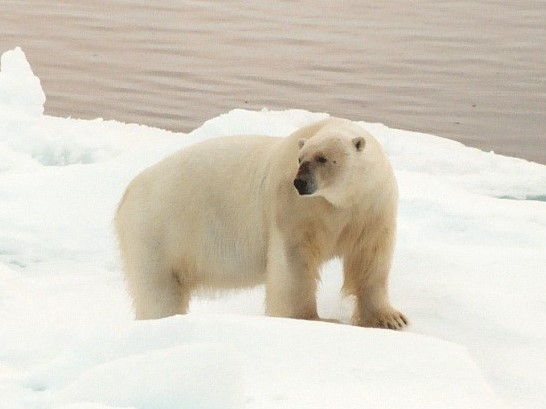 Photo of Polar Bear in the Arctic