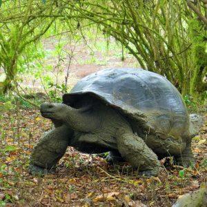 Tortoise on Galapagos Islands in Ecuador