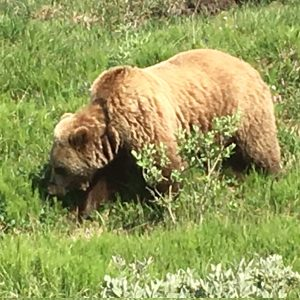 Brown Bearf Grizzley in Alaska