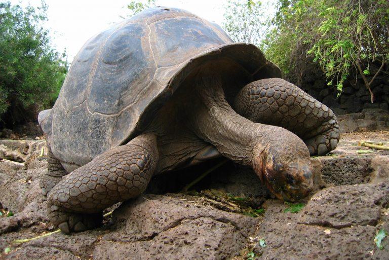 Land Tortoise, Santa Crfuz Highlands, Galapagos