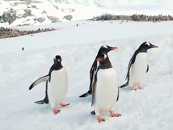 group of four penguins