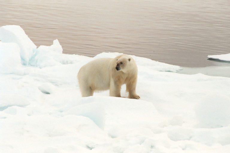 Polar Bear in Franzjosefland in Russian Arctic