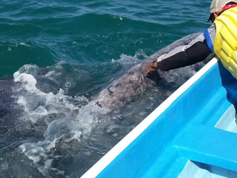 Touching Gray Whale, Baja