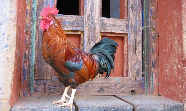 Bhutan, rooster