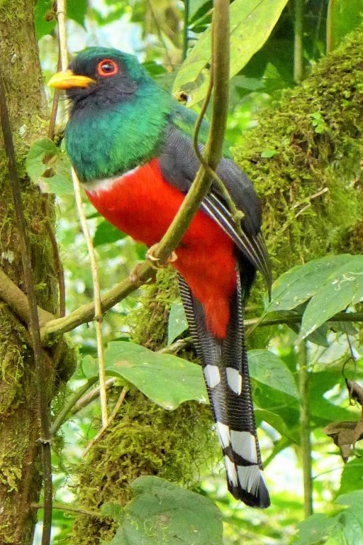 Trogon - Bellavista Cloud forest, Ecuador