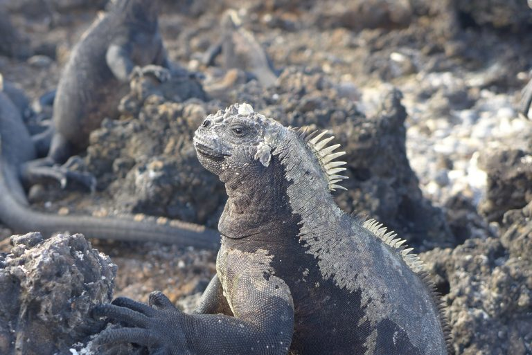 Marine Iguana - Isabela, Galapagos