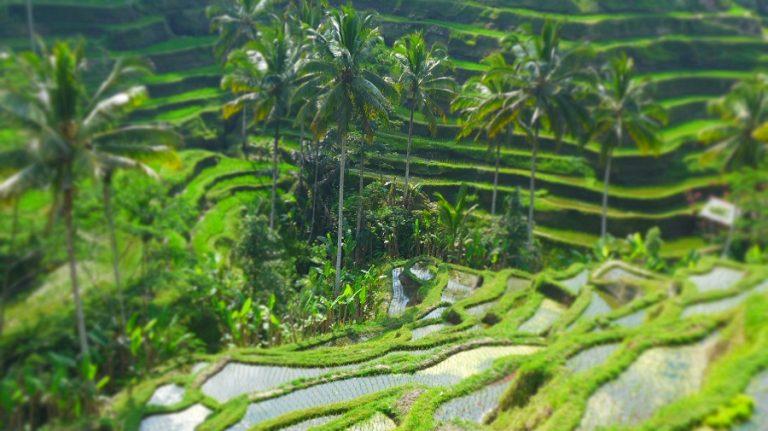 Indonesia -rice-terraces