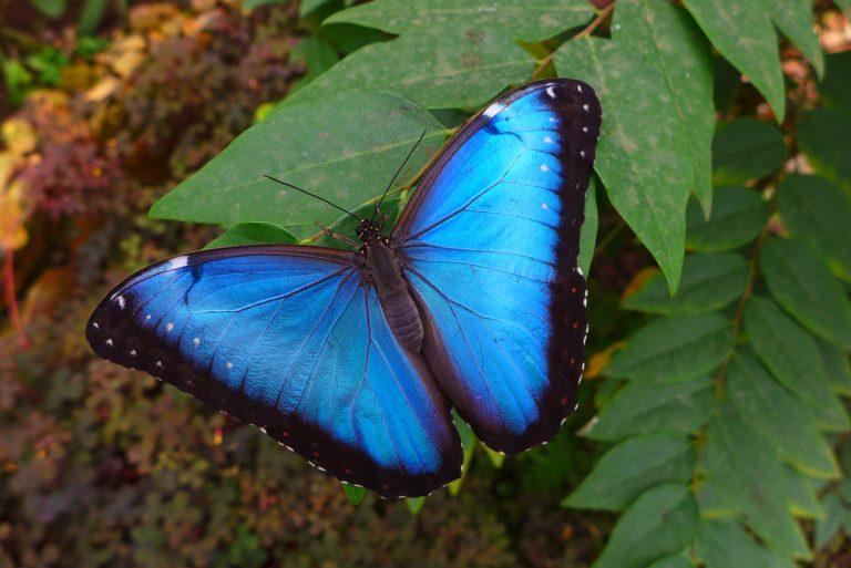 Morpho Butterfly, Mindo, Ecuador