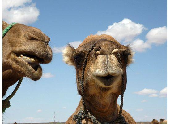 Morocco, camel