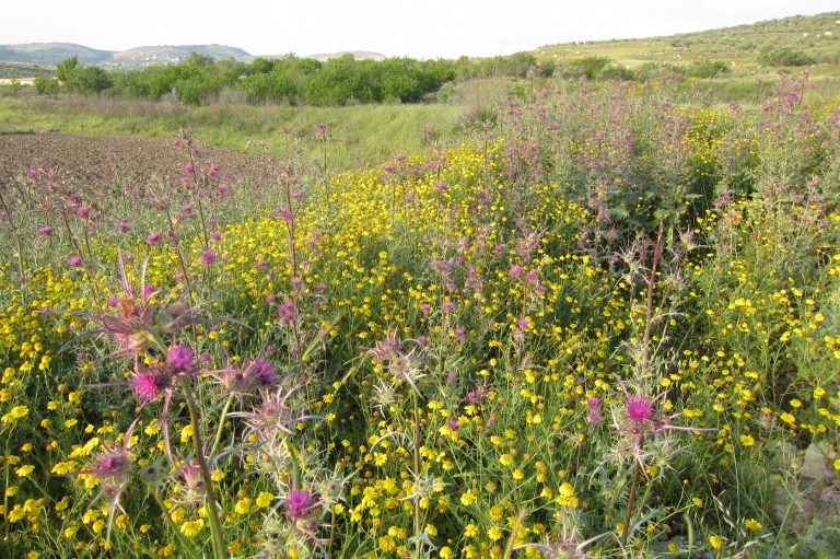 Palestine flower meadow