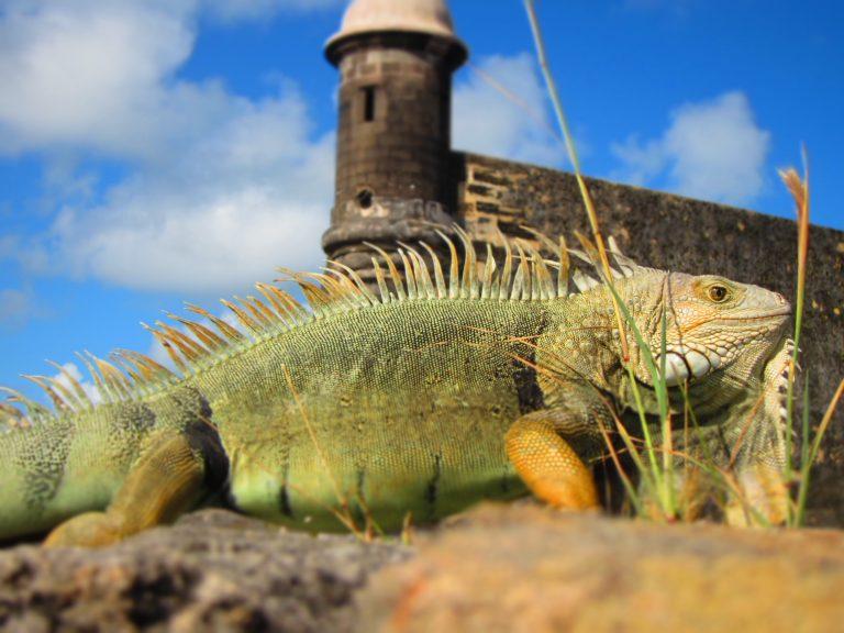 Iguana, San Juan