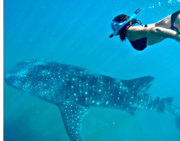 Woman in bikini snorkeling with whale shark